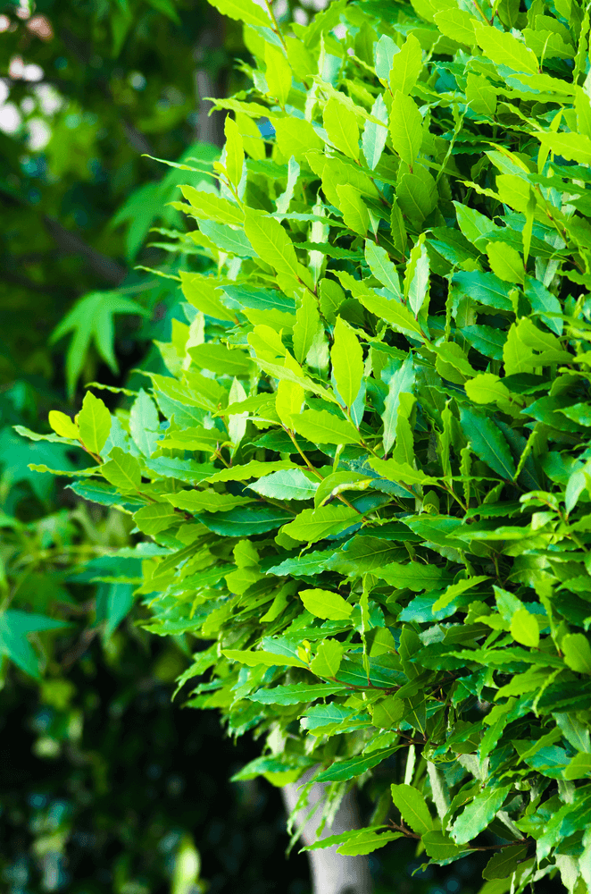 Bay Laurel: 10 Plants That Repel Flies Naturally and Keep the Home Bug-Free