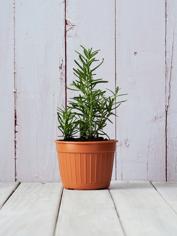 Rosemary: 10 Plants That Repel Flies Naturally and Keep the Home Bug-Free