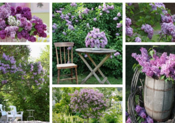 Garden lilac, a spectacular and easy to care decorative tree for your garden